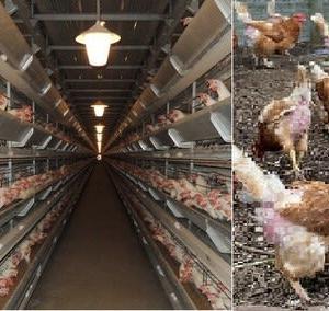 アニマルウエルフェアーに恐れをなして献金した養鶏業者