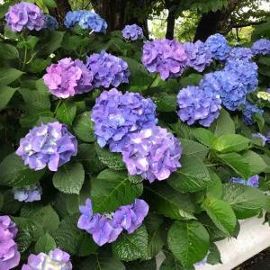 雨に濡れた紫陽花(2020.7.31)