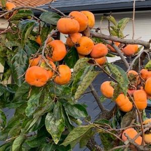 柿が食べ頃になりました。
