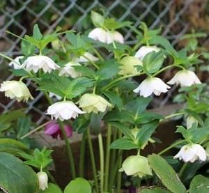 冬を越して咲く庭の花たち