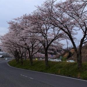 木次~桜見サイクリング