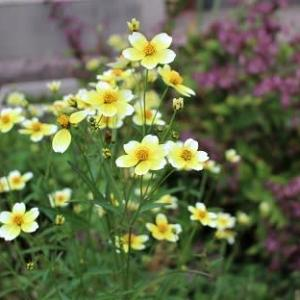 ウインターコスモスが咲き始めました