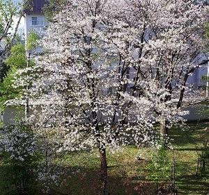 ベランダに桜満開です・・