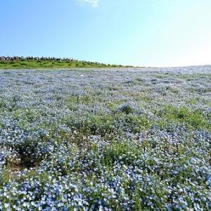 一面ブルーのネモフィラの花