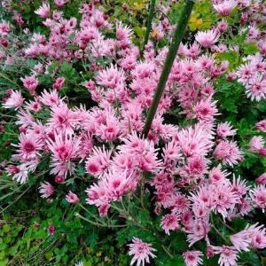 菊の花が食卓に上がる季節だぜぇ!