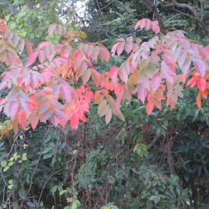 散歩道の色々 紅葉