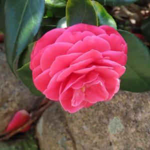 美しいバラのような椿?