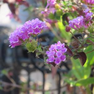 散歩道の朝花―㊷