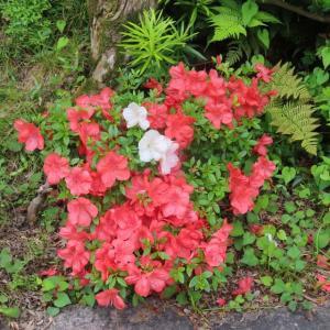 芙蓉の開花