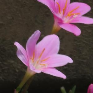 散歩道の朝花―㊲