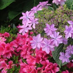紫陽花色々 ①