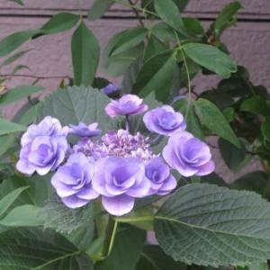 花色々 紫陽花とバラ