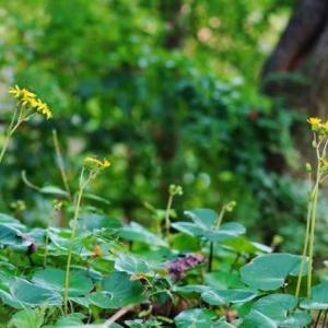 ツワブキ、フジバカマ、カラタチバナ(赤塚植物園 2019.10.27 撮影)