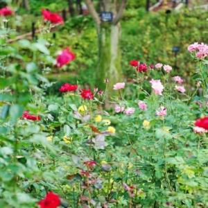 秋のバラと色づく葉(赤塚植物園 2019.10.27 撮影)