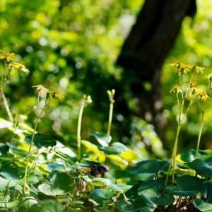 ツワブキ、ハギ、緑の木の葉(赤塚植物園 2019.11.4 撮影)