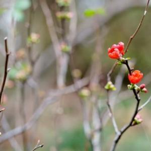 早くもボケの花が咲きました!(赤塚植物園 2020.1.25 撮影)