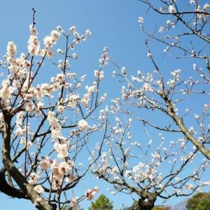 小石川植物園のウメ(2020.2.23 撮影)