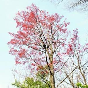 ハナノキとモミジの花(赤塚植物園 2020.3.23 撮影)