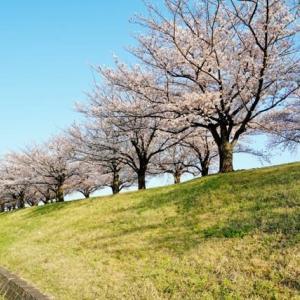 荒川赤羽桜堤緑地の桜 続編(2020.4.3 撮影)