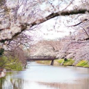 去年の福岡堰の桜 その1(2019.4.3 撮影)