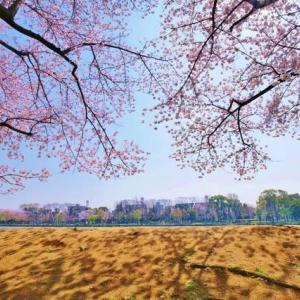 過去に撮った都立浮間公園の桜