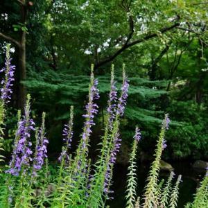 サワギキョウ、コムラサキ、ヒガンバナ、ヌスビトハギ(赤塚植物園 2020.9.13 撮影)