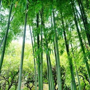 竹林とマルバフジバカマ(赤塚植物園 2020.10.18 撮影)