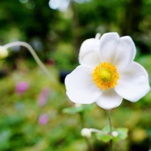シュウメイギクとホトトギス(赤塚植物園 2020.10.18 撮影)