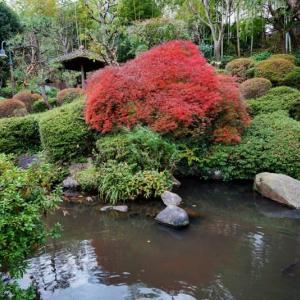 薬師の泉のモミジ(板橋区小豆沢 2020.11.23 撮影)