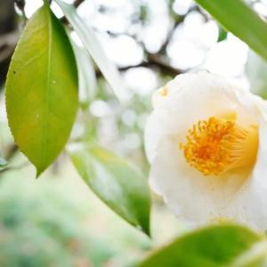ツバキの花(赤塚植物園 2021.1.24 撮影)
