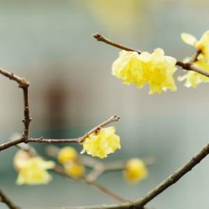 ロウバイの花(赤塚植物園 2021.1.24 撮影)