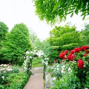 バラとキョウガノコ(赤塚植物園 2021.5.16撮影)