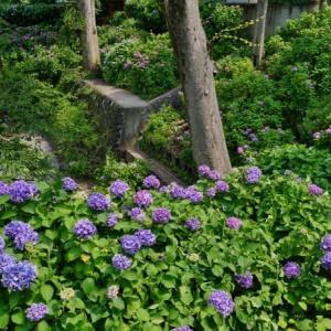 出井の泉公園のアジサイ 前編(板橋区泉町 2021.6.8撮影)