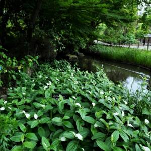 初夏の花と秋の七草の同居(赤塚植物園 2021.6.13撮影)