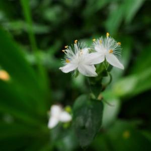 ひっそりと咲いています!(赤塚植物園 2021.6.20撮影)