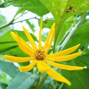 イヌキクイモとショウガの花(赤塚植物園 2021.8.22撮影)