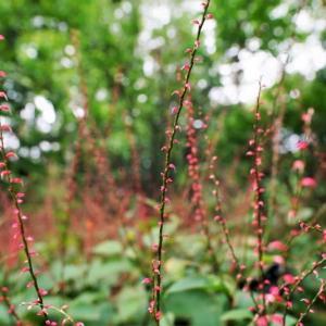 ミズヒキの花とシャクトリムシ(赤塚植物園 2021.9.12撮影)