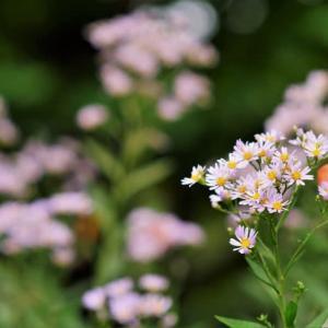 シオンの花とハナムグリ(赤塚植物園 2021.9.12撮影)
