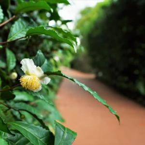 チャの花、ウド、シモバシラ(赤塚植物園 2021.9.12撮影)