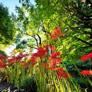 超広角レンズで撮った赤塚植物園のヒガンバナ(2021.9.19撮影)