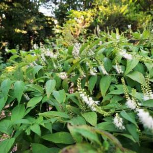 シモバシラ、チャの花とカマキリ(赤塚植物園 2021.9.19撮影)