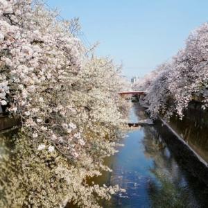 去年の桜の写真です!その1(中板橋の桜 2019.4.6 撮影)