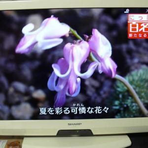 岩手山のコマクサ(駒草)~「にっぽん百名山」2019年9月5日(木)