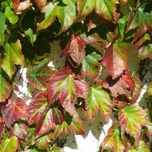 一関市桜木町のナツヅタ(夏蔦)の紅葉 2019年10月10日(木)