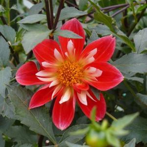一関市東山町のダリア(その1)コラレット咲き 2019年10月18日(金)