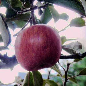 鰺ヶ沢温泉ホテルのリンゴ(林檎)2019年11月9日(土)