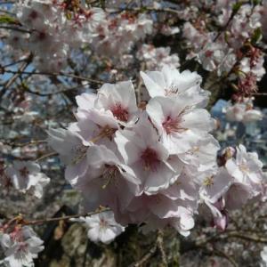一関市釣山公園のシキザクラ(四季桜)2020年4月3日(金)