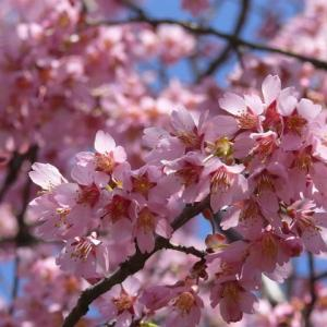 「一関遊水地緑地公園」の桜・オカメ 2020年4月3日(金)