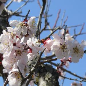 「一関遊水地記念緑地公園」の桜・兼六園菊桜(けんろくえん・きくざくら)2020年4月3日(金)