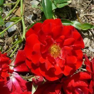 藤沢町「館ケ森アーク牧場」のバラ(薔薇)・マイナーフェア 2020年6月17日(水)